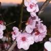 Flowering plum against the Scenic Rim