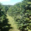Mount Tamborine  Coffee Plantation