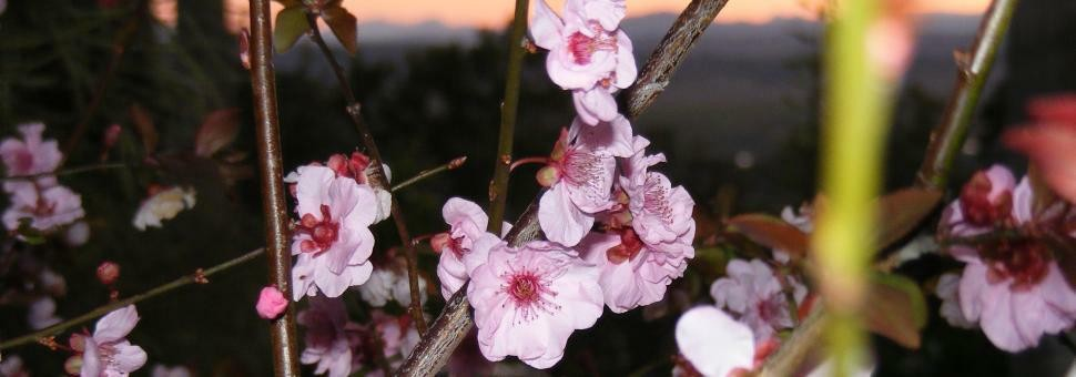 Flowering plum against the Scenic Rim